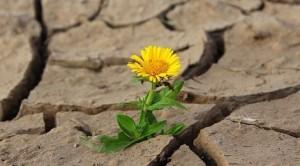 souci poussant dans le désert